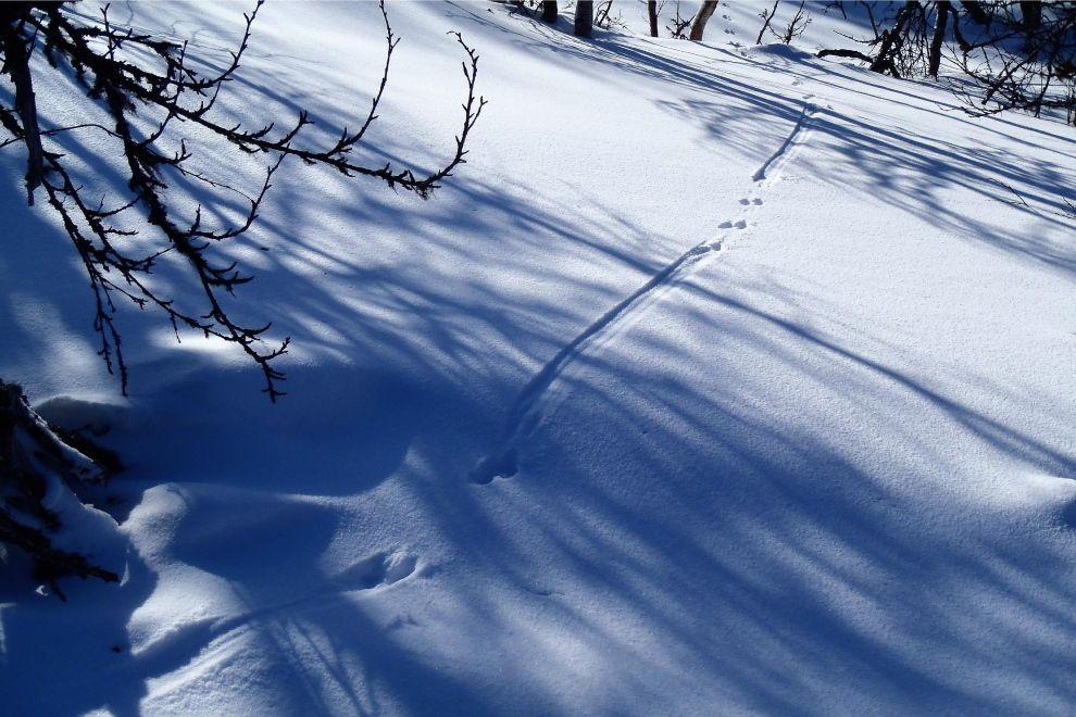 Skilaufen auf traditionellen Holzski - auch Tiere tun es (Bild)